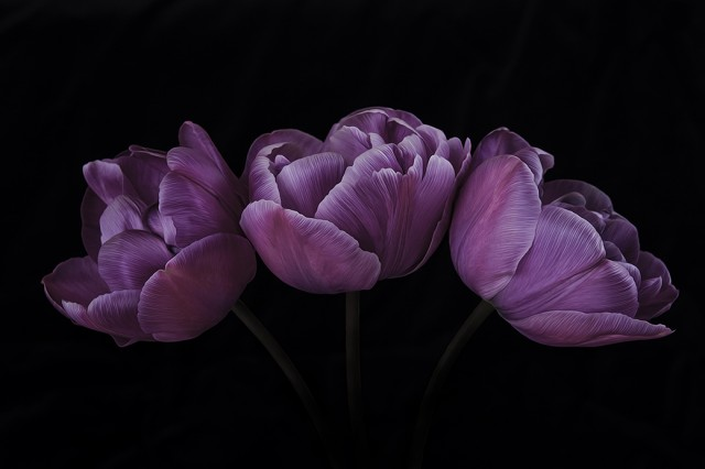 07_CP1460_3PurpleTulips