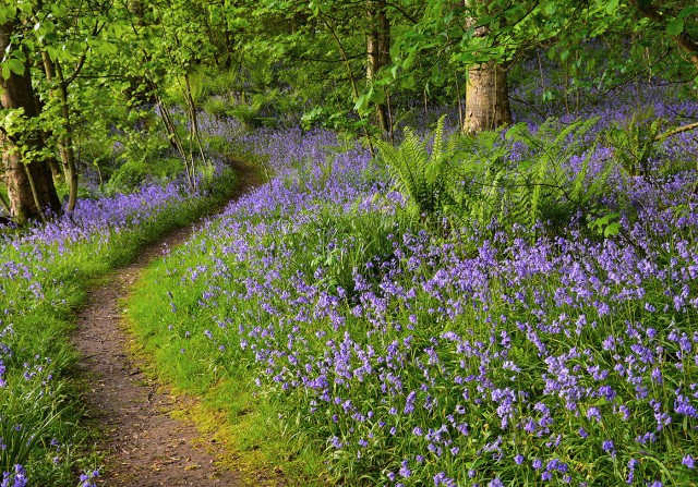 Bluebell_Walk