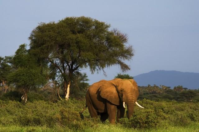 Bull_Elephant