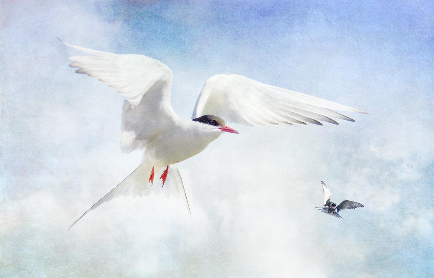 Tern Impressions by Nicola Shepherd