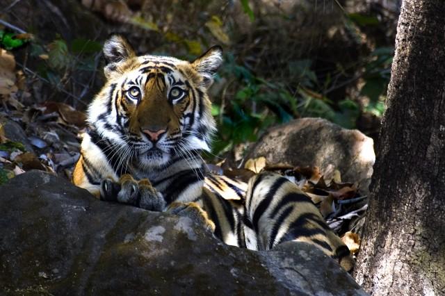 Juvenile tiger