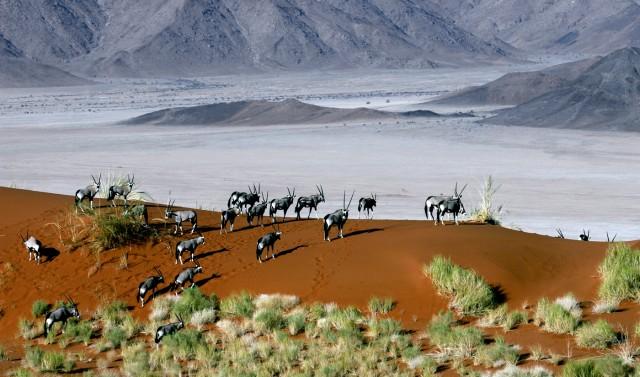 Oryx at dawn