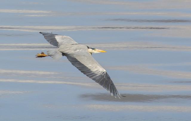 Tayport Heron