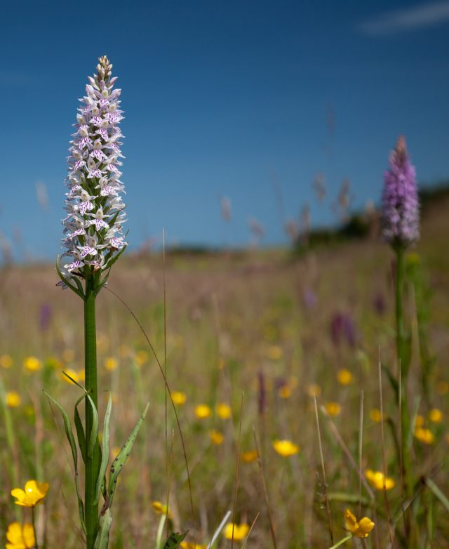 Common Spotted Orchid - John Peacock