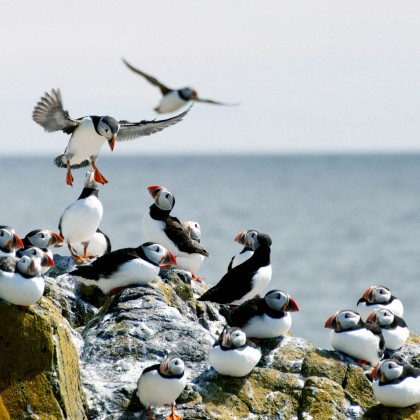 Isle of May puffins by Mathew Schwartz LRPS