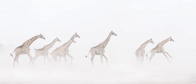 Giraffes in Sandstorm Chris Reekie