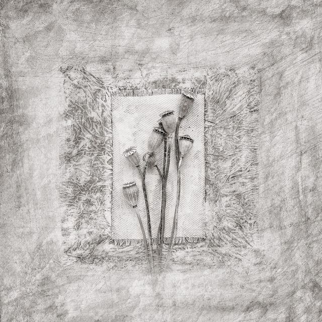 001_Dried Poppies_m