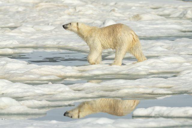 Polar Bear - Reflection Walking On Ice