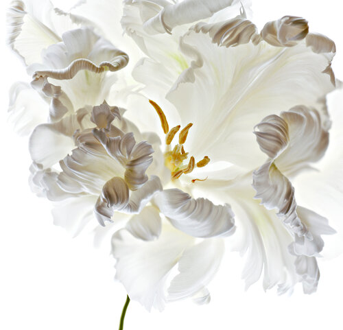 Studio shot of white parrot type Tulip flower