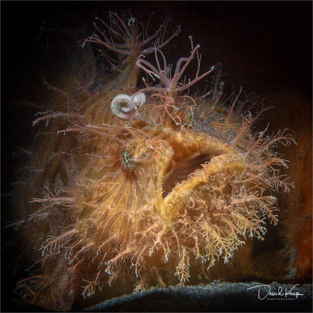 HairyFrogfish1of1
