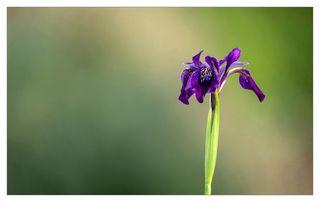 Lonely-Iris-Nicola-Shepherd