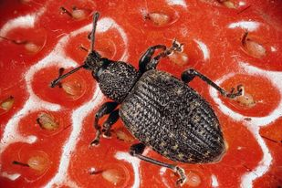 Weevil-on-Strawberry